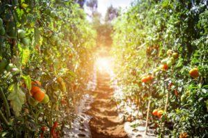 Rostliny rajčata